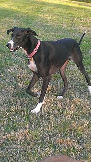 Great Dane Dog for adoption in Franklin, Tennessee - Nikki
