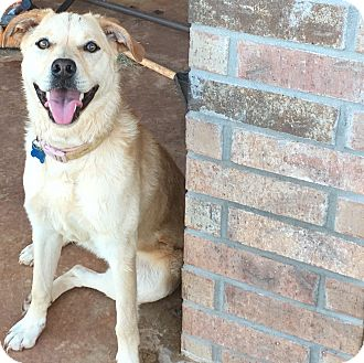 Labrador Retriever Mix Puppy for adoption in Oklahoma City, Oklahoma - Ginger