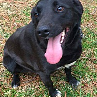Labrador Retriever Mix Dog for adoption in Columbia, Tennessee - Sheldon