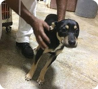 Shepherd (Unknown Type) Mix Dog for adoption in Laingsburg, Michigan - Andie - Shepard pup