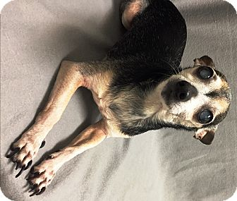 Chihuahua Dog for adoption in Watauga, Texas - Percy