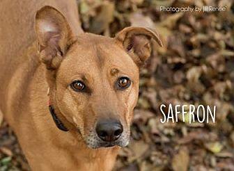 Shepherd (Unknown Type)/Labrador Retriever Mix Dog for adoption in Kansas City, Missouri - Saffron