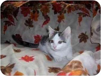 Domestic Shorthair Kitten for adoption in Spencer, New York - Casper