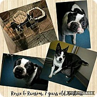 Boston Terrier Dog for adoption in Ponca City, Oklahoma - Ransom