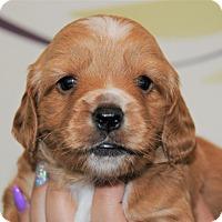 Adopt A Pet :: Butternut - Agoura Hills, CA