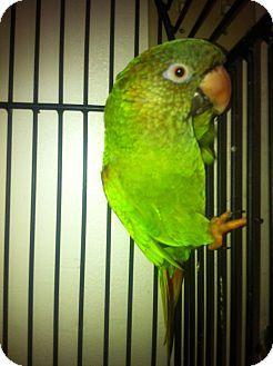 Conure for adoption in Punta Gorda, Florida - George