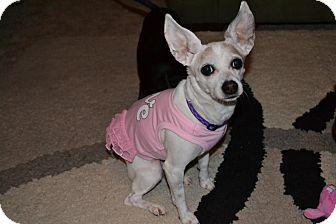 Chihuahua/Beagle Mix Dog for adoption in Snohomish, Washington - Gabrielle
