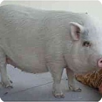 Adopt A Pet :: Remmie - Las Vegas, NV