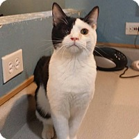 American Shorthair Cat for adoption in Pueblo, Colorado - Larry
