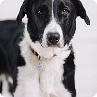 Adopt A Pet :: Chester - Portland, OR