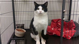 Domestic Shorthair Cat for adoption in Barnwell, South Carolina - Angelo the Great