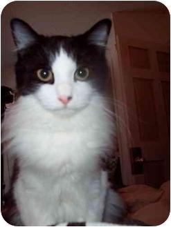 Domestic Longhair Cat for adoption in Proctor, Minnesota - Darwin
