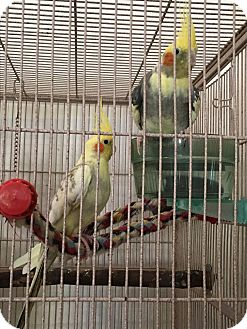 Cockatiel for adoption in Punta Gorda, Florida - 4 Cockatiel Flock