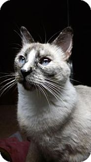 Siamese Cat for adoption in Santa Cruz, California - Gypsy