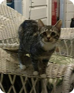 Manx Cat for adoption in Texarkana, Arkansas - No Tail