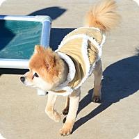 Adopt A Pet :: Louie - Gardnerville, NV