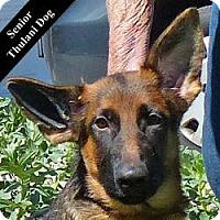 Adopt A Pet :: Bouncy Blue T. - Cupertino, CA