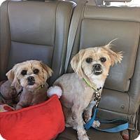 Adopt A Pet :: Laverne Shirley - Tempe, AZ
