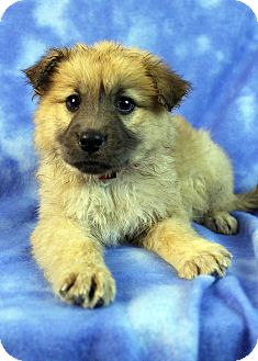 Golden Retriever/Shepherd (Unknown Type) Mix Puppy for adoption in Westminster, Colorado - Circinus