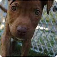 Adopt A Pet :: Trixie - Dallas, PA