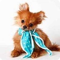 Adopt A Pet :: Oberon - New York, NY