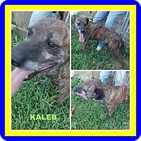 Boxer Mix Dog for adoption in Malvern, Arkansas - KALEB