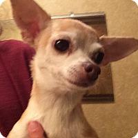 Adopt A Pet :: Sugar - Edmond, OK