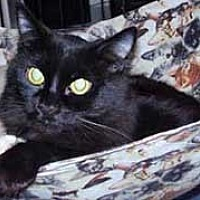 Adopt A Pet :: Midnight - Evergreen, CO