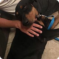 Adopt A Pet :: Gator - Gilbert, AZ