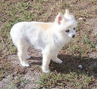 Pomeranian Mix Dog for adoption in Spring Hill, Florida - Donations needed: Scully
