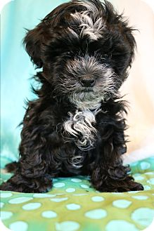 Shih Tzu/Poodle (Miniature) Mix Puppy for adoption in Allentown, Virginia - Boo