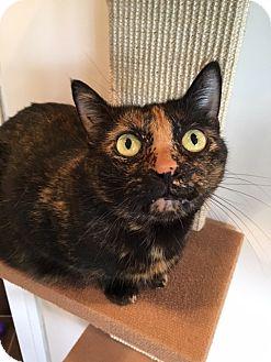 Domestic Shorthair Cat for adoption in Las Vegas, Nevada - Moonlight
