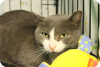 Domestic Shorthair Cat for adoption in Warwick, Rhode Island - Pannini