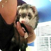 Adopt A Pet :: Lylie - Acworth, GA