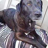 Adopt A Pet :: Bear - Southbury, CT