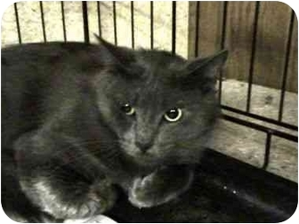 Domestic Shorthair Cat for adoption in Syracuse, New York - Smoothie