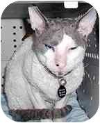 Cornish Rex Cat for adoption in Scottsdale, Arizona - Kitt Katt