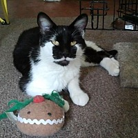 Domestic Shorthair Cat for adoption in Lombard, Illinois - Mahmee