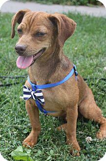 Dachshund/Chihuahua Mix Puppy for adoption in Macomb, Illinois - Wayland