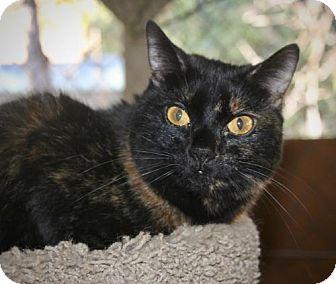 Domestic Shorthair Cat for adoption in Cottonwood, California - Sophia