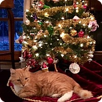 Adopt A Pet :: Nicklaus (Declawed) - Chattanooga, TN