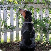 Adopt A Pet :: Priscilla Poundcake - Atlanta, GA