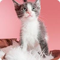 Adopt A Pet :: Cupid - Miami Shores, FL