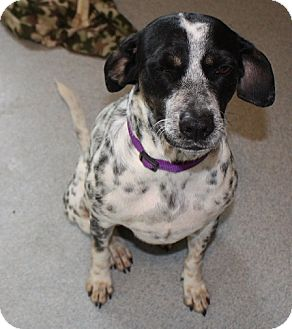 German Shorthaired Pointer Mix Dog for adoption in Homer, New York - Pekas
