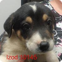 Adopt A Pet :: Izod - Greencastle, NC