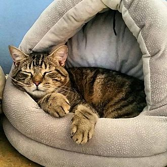 Domestic Shorthair Cat for adoption in Memphis, Tennessee - Missy