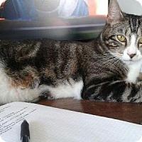 Adopt A Pet :: .Asha - Ellicott City, MD