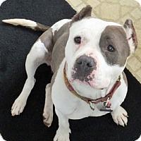 Adopt A Pet :: Moo - Framingham, MA