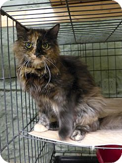 Domestic Longhair Cat for adoption in Marlinton, West Virginia - Carmen