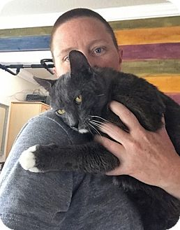 Domestic Shorthair Cat for adoption in Santa Ana, California - Rodeo (Need a hug?)